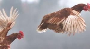 """Por qué se dice que estamos viviendo en """"el planeta de los pollos"""""""