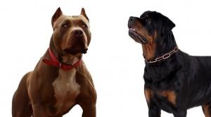 Tres perros de raza provocaron la muerte de una mujer en Oruro