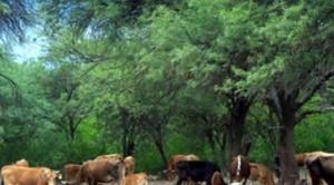 Evo ordena desmonte de tierras privadas y comunitarias para aumentar crianza de ganado 1