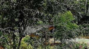 Gobierno admite que hay tala y quema para ampliar cultivo ilegal de coca en el TIPNIS 1