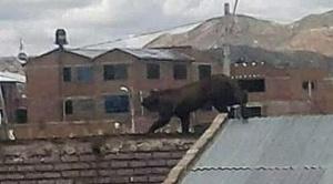 Murió el puma andino que asustaba en la ciudad de Oruro