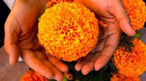 Día de Muertos: cuál es el origen y significado de la flor de cempasúchil, la reina de los altares en México 1