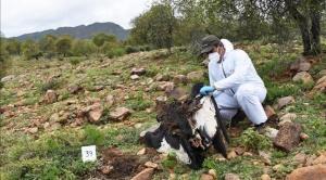 Ministerio de Medio Ambiente informó que se identificó al presunto autor de la muerte de 34 cóndores en Tarija