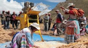 El precio de la quinua baja y la producción se contrae 50% por sequía y cierre de fronteras