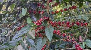 El café alienta la reactivación económica en Caranavi que prevé producir 60.000 sacos éste año