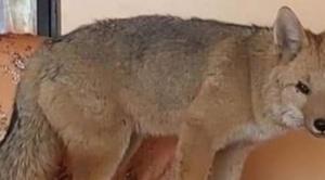 Familia que adoptó al zorro Antonio toma la decisión de que el animal se quede en el zoológico de Oruro