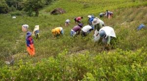 Unión Europea expresa su preocupación por el aumento de cultivos de coca en el país
