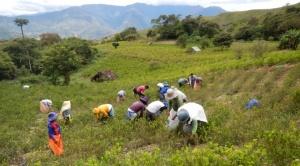 UNODC: Hasta un 48% de la coca producida en Bolivia se va al mercado ilegal